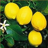 檸檬(レモン)の苗木 ユーレカレモン