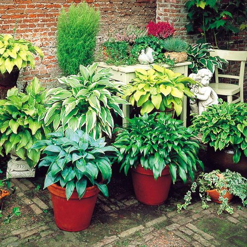 Hosta Mix collection - 6 Plants