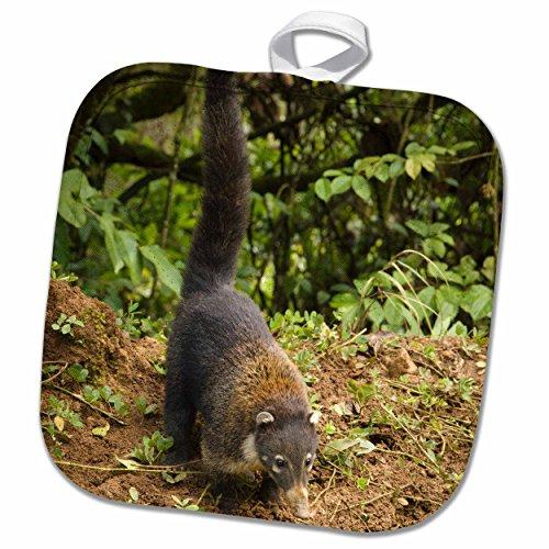3dRose Danita Delimont - Wildlife - Costa Rica, La Paz area, Coatimundi wildlife - SA22 RSP0004 - Rob Sheppard - 8x8 Potholder (phl_87269_1)