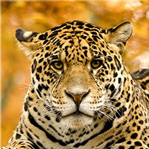 Startonight nachtleuchtendes Leinwandbild Jaguar, 80 cm x 80 cm    Kundenbewertung und Beschreibung