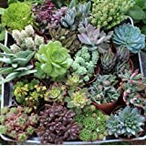 "20 Beautiful 4"" inch Succulents in their plastic containers"