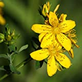 Package of 1500Pcs Seeds, St. Johns Wort (Hypericum perforatum) Non-GMO Seeds By Seed Needs for Plant of Home Garden
