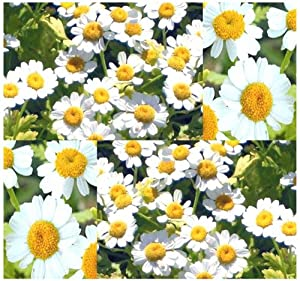 1oz (320,000+ Seeds) - FEVERFEW FEVER FEW FLOWER HERB SEEDS ~ AROMATIC T. Parthenium ~ PERENNIAL FOR YEARLY ENJOYMENT - Herbal And Medicinal - Zones 5 - 9