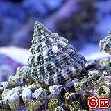 (海水魚 貝 無脊椎)ターボスネール コケの掃除(6匹) 本州・四国限定[生体]