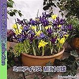 ◆ 【かわいいあやめ】 ミニアイリスMIX 【オランダからの花便り】【秋植え球根】