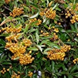 25 x Pyracantha Yellow 30-40cm in 9cm pot (a283)
