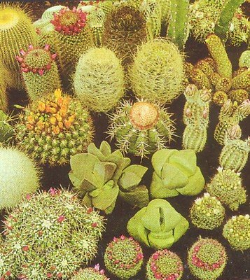 Buy Cactus & Succulent 100 Seeds-Barrel/Column/Old Man etc. – FREE SHIPPING ON ADDITIONAL HIRTS SEEDS ORDERED AND PAID WITH ONE PAYMENT!