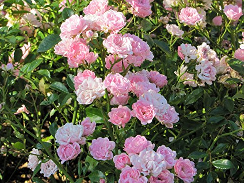 'The Fairy' Rose