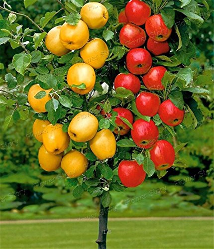 Dwarf bonsai apple tree 20 Seeds Pick Delicious Fruits In Your Backyard Easy -growing Bonsai Fruit (Growing Dwarf Fruit Trees compare prices)