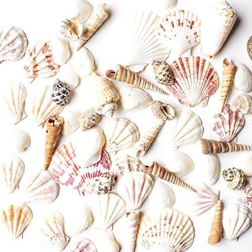 sea-shells-mixed-beach-seashells-various-sizes-up-to-2-shells-bag-of-approx-50-seashells