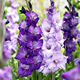 'Blue Moon' Mix Large Flowering Gladiolus 10 Bulbs