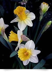 Daffodils by Patricia Schnepf