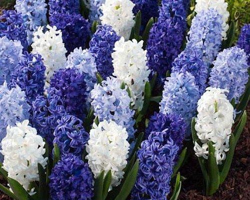 Delft Blue Hyacinth Mix 10 Bulbs -Soft Blue/White- FRAGRANT - 15/16 cm Bulbs (Fragrant Flower Bulbs compare prices)