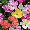"*NEW* Four O' Clock ""Mirabilis jalapa 'Marbles Mix"" *FRAGRANT* 25 seeds* #1095-A"