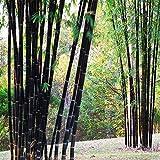 Calli 100pcs jardin plantes graines de bambou noir cour phyllostachys nigra