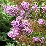 Buddleia Flutterby Pink - Buddleja Podoras 9 - Grown in 9cm Pot - Buddleja Butterfly Bush Shrub Plant