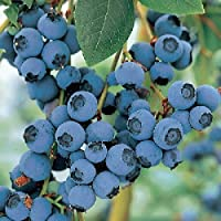 'Blue Crop' Blueberry Plant - Large/Delicious/Midseason - 4