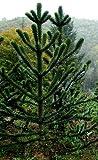 Araucaria araucana - monkey puzzle - monkey tail tree - 5 seeds