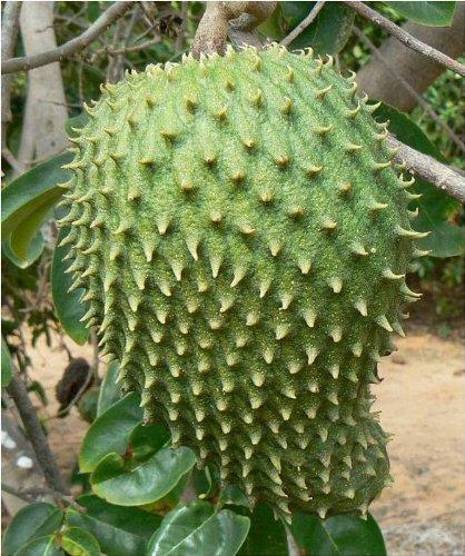 25 Giant Soursop Seeds *Rare* *Exotic* Annona Muricata, Graviola, Guanabana (Graviola Fruit compare prices)