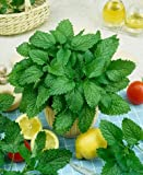 Lemon Balm Seeds - Melissa Officinalis - .1 Grams - Approx 160 Gardening Seeds - Herb Garden Seed