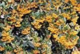 Pyracantha soliel D'or, yellow Firethorn climber, shrub