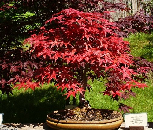 10 Seeds Heirloom Japanese Red Maple Bonsai Seeds T003 (Purple Fruit Seeds compare prices)