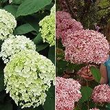 アジサイ:アナベル2種セット(白花・ピンク花)[人気のアメリカアジサイ]