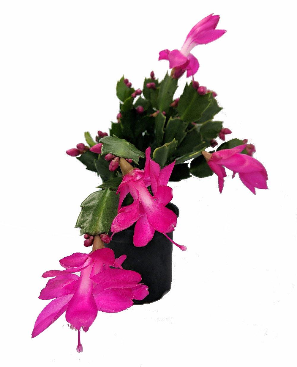 Purple Christmas Cactus