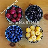Solution Seeds Farm New Heirloom 600 Seeds Mix Four different varieties of Rare Raspberry seeds variety of choice ( blue, black, red, yellow), (Mixed Fore Different Seeds in Packet)