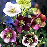 Amazon / Hirts: Perennials; Sun: Royal Heritage Lenten Rose Potted - Helleborus - Shade - 4 Pot