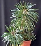 Pachypodium lamerei - Madagaskar-Palme - 5 Samen