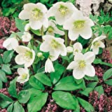 Suttons Seeds 117381 Christmas Rose Seed