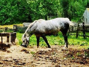 Appaloosa Eating Hay