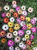 Mesembryanthemum Harliquinn Seeds