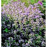 Herb Seeds - English Winter Thyme - 4000 Seeds