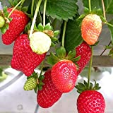 Tristar Strawberry Plants Organic 10 Bare Root Crowns Everbearing Strawberry - Easy To Grow Sweet Berries Great For Containers