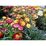 Flower Seeds Golden Eternal Flower Flower Seeds For Home Garden-100 Seeds By Creative Farmer