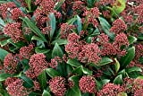 Skimmia japonica 'Rubella' (Skimmia 'Rubella' (m)) 3 ltr pot
