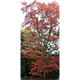 2 Yr Old Northern Red Oak - Quercus rubra 1 LIVE Tree - Gorgeous Red Leaf Color!