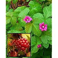 Eskimo Carpet Raspberry 2 Different Varieties - Hardy - Sweet & Juicy - 4