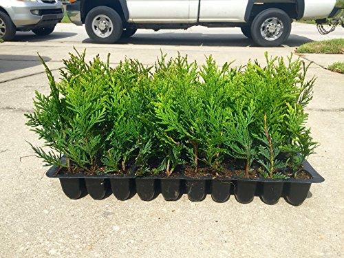 thuja-green-giant-arborvitae-qty-60-live-plants-privacy-hedge