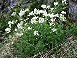 Arabis Alpina, Alpine Rock Cress, 400+ seeds, perennial, edible flowers