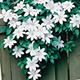 CLEMATIS HENRYi - Pure White  10+Perennial Seeds