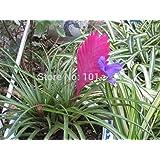 1 Bag (100 Pcs) German Love Feather Orchid Seeds, Potted Orchid Plants Courtyard, DIY Garden Bonsai Plant,
