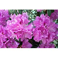 P.J.M. Compact Rhododendron - Very Hardy - Spectacular - 4