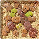 New Lithops Living Stone Succulent Plant, 10 + Seeds
