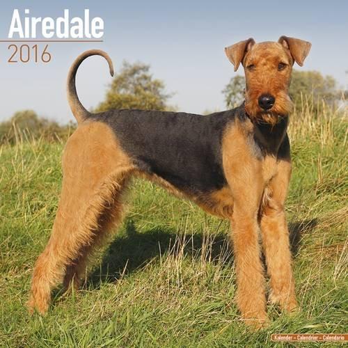 Airedale Calendar 2016 (Squre Stapled)