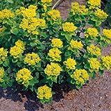 Euphorbia polychroma Sonnegold - 1 plant