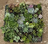 30 Assorted Succulent Plants - 2 Inch Pot -Many Varieties !!!Great for Wedding