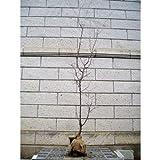豊後梅(ブンゴウメ) 樹高1.8m前後